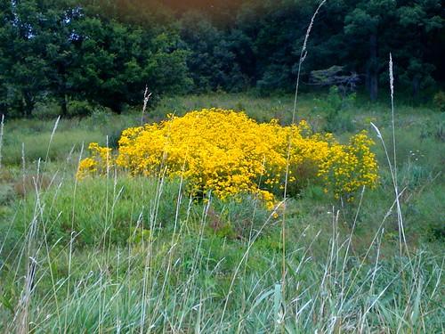 Morton Arb: patch of wildflowers