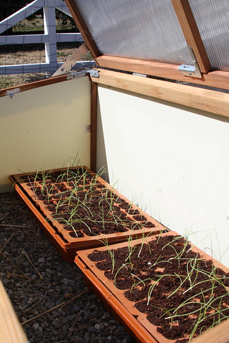 Onions In Cold Frame