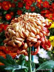 Smith Chrysanthemum Show, 2008