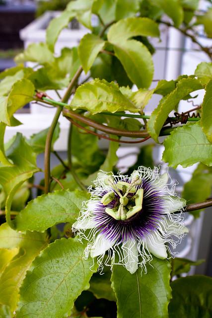 passiflora edulis forma flavicarpa