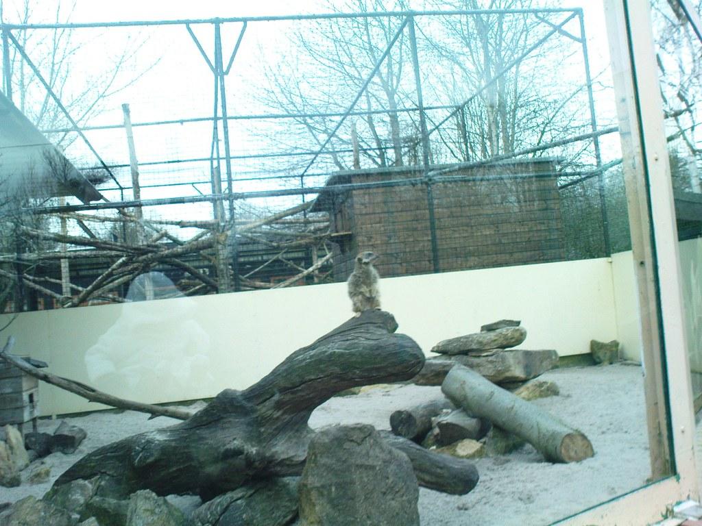 Meerkat - Kizzie