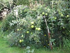Lille æbletræ