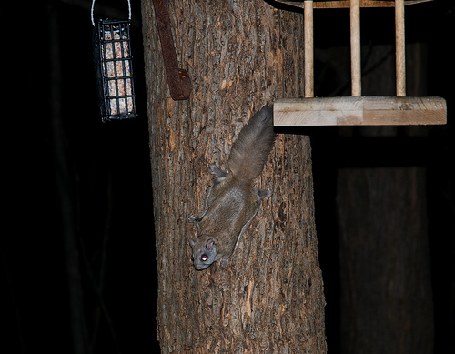 Flying Squirrel by Sue Nature Photonutt