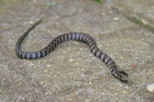 Baby Northern Water Snake