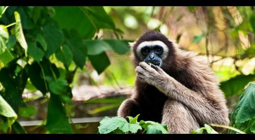 Malaysian Lar Gibbon {White-handed Gibbon}