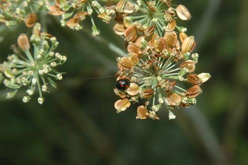 Adalia bipunctata (bad name but it is truly bipunctata)