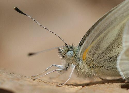 Mustard White (Pieris oleracea)