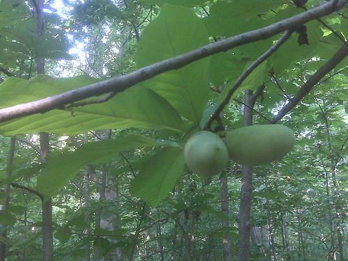 Paw paw fruit