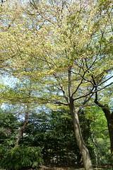 生田緑地のイロハモミジ(Ikuta Ryokuchi, Japan)