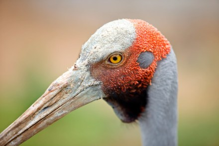 Father Brolga