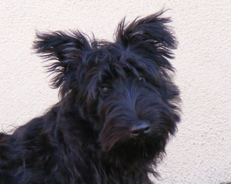 Shaggy Scottish Terrier close-up