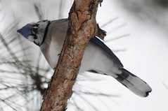 Funny Blue Jay - by Tom LeBlanc