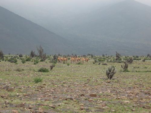 Guanacos pastando
