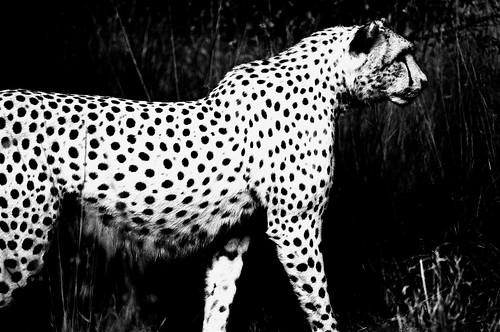 Museum — Cheetah. (Fuji Neopan 1600. Nikon F100. Noritsu Koki.)