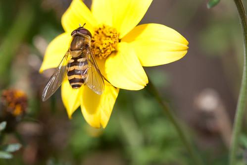 something bee-ish on flower II