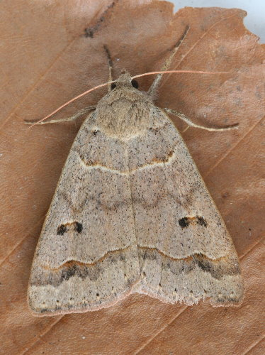 8591 - Phoberia atomaris - Common Oak Moth