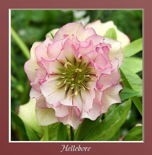 Hellebore