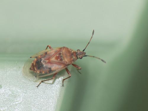 Birch catkin bug (Kleidocerys resedae)