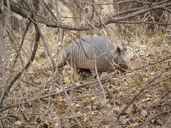 armadillo hunting - best