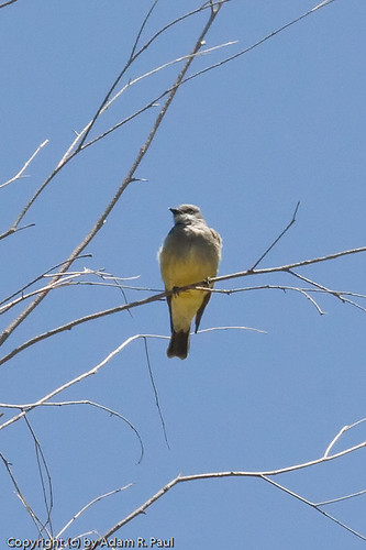 Cassin's Kingbird? by you.