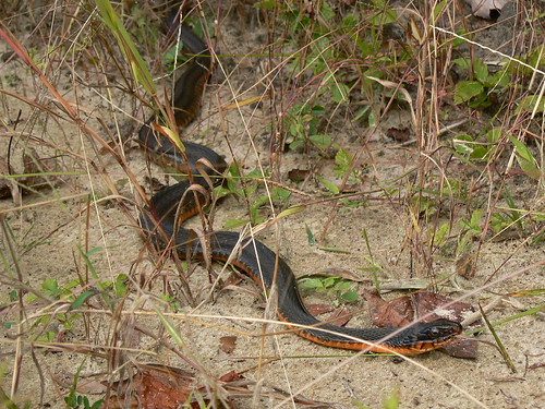 Maple Park - Red Belly Watersnake
