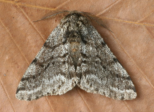 6651 - Lycia ursaria - Stout Spanworm (3)