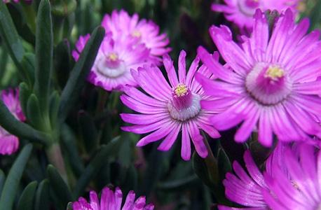 chorina lilás - pormenor