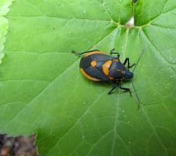 Florida Predatory Stink-bug