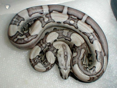 Anery Jungle Boa - Bill Kirby