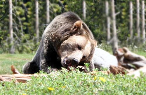 BearSnack
