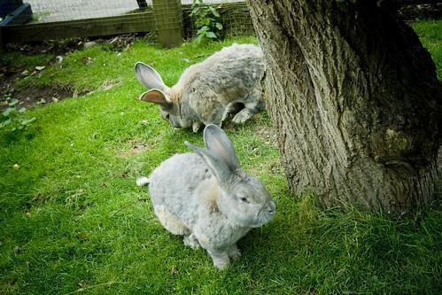 giant british bunnies