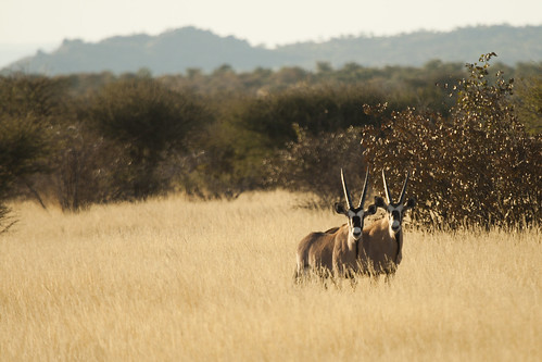 Oryx in the Field