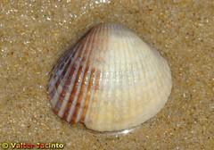 Berbigão-comum // Common Cockle (Cerastoderma ...