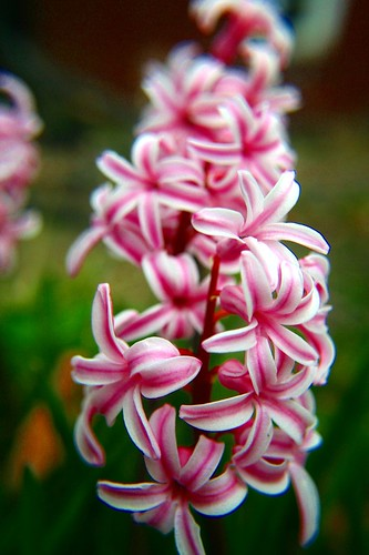 hyacinth enhanced