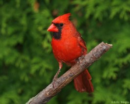 Northern Cardinal / Cardinal rouge