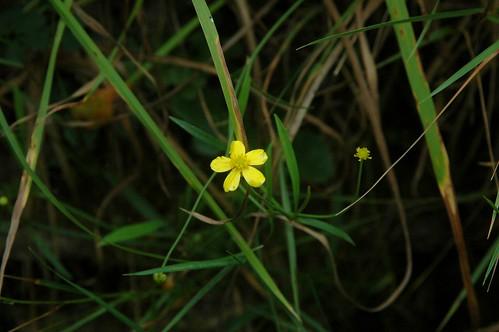 Unidentified Ranunculaceae flower