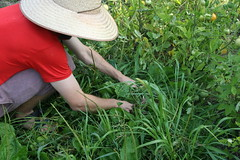 picking weeds for the compost