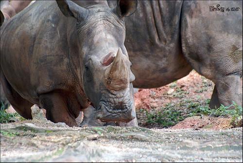 White Rhinoceros (Badak Sumbu Putih)