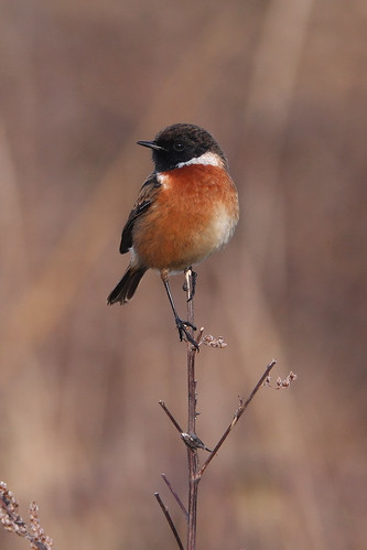 Stonechat by markkilner, on Flickr