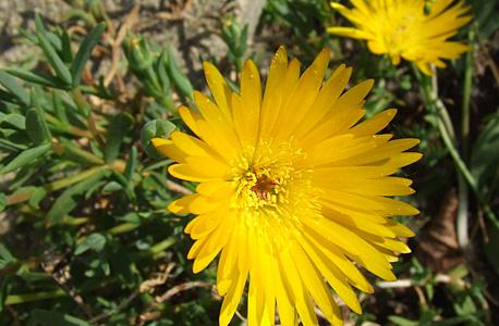 chorina amarelo