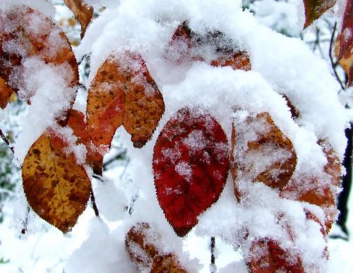 October snowstorm 4: shadbush leaves