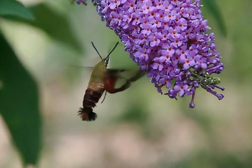 In-flight Hummingbird Moth