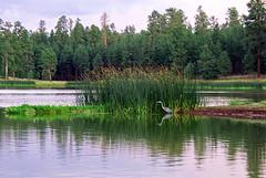 Blue Heron at dusk - White Horse Lake - Kaibab...