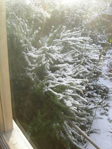Poor old rosemary, snowed under again