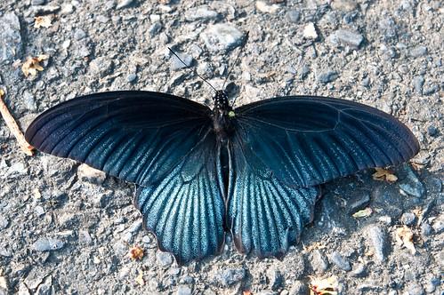 Papilio memnon heronus (male)