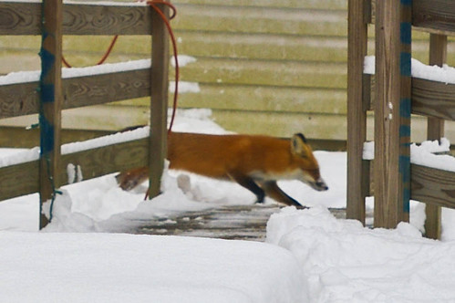 running foxy