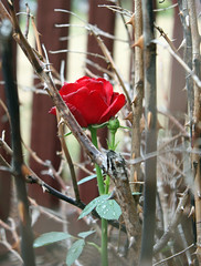 Red rose among the thorns
