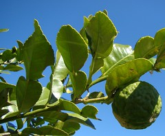 Kaffir Lime leaves and their knobbly fruit