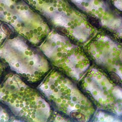 Elodea Leaf Cell Diagram 110v Sub Panel Wiring The World 39s Best Photos Of And Plant Flickr Hive Mind