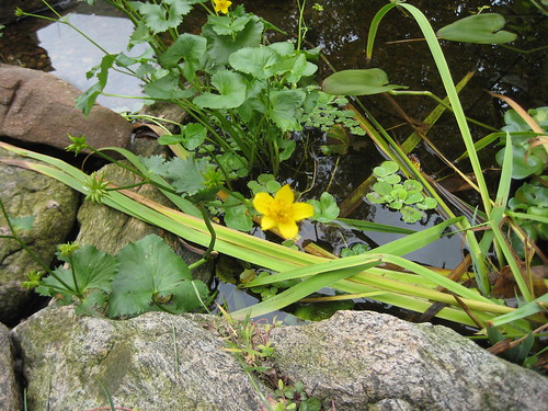 Marsh marigold blooms spring & fall